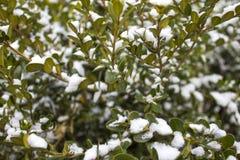 Wiecznozielony boxwood w zimie fotografia royalty free