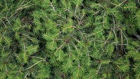 Wiecznozielony conifer Abstrakcjonistyczny tło sosny lub jodły gałąź z ig?ami Zako?czenie Selekcyjna ostro?? zdjęcie wideo