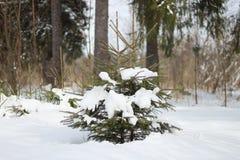 Wiecznozielony drzewo jedlina Zdjęcia Stock