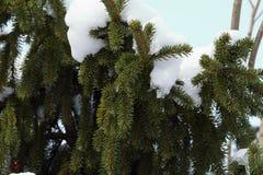 Wiecznozielony drzewo jedlina Fotografia Stock