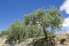 wiecznozielony drzewo oliwne Zdjęcia Royalty Free