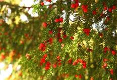 Wiecznozielony drzewo z czerwonymi jagodami Zdjęcie Stock