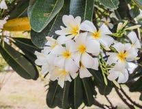 Wiecznozielony Frangipani, cmentarza kwiat, Pagodowy drzewo zdjęcia royalty free