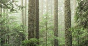 wiecznozielony las dojrzały Obrazy Royalty Free