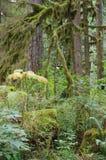 Wiecznozielony las Pacyficzni północni zachody Zdjęcia Stock