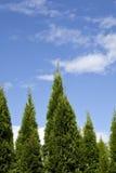 wiecznozielony tła drzewo Zdjęcia Royalty Free