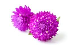 wieczny kwiat Zdjęcie Royalty Free