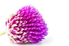 wieczny kwiat Obraz Royalty Free