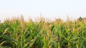 wieczorem pola kukurydzy tła hill zbiory