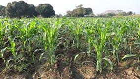 wieczorem pola kukurydzy tła hill zdjęcie wideo