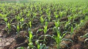 wieczorem pola kukurydzy tła hill zbiory wideo