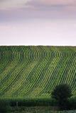 wieczorem pola kukurydzy tła hill Obrazy Royalty Free