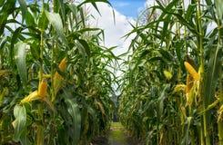wieczorem pola kukurydzy tła hill fotografia stock