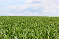 wieczorem pola kukurydzy tła hill Obrazy Stock