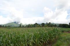 wieczorem pola kukurydzy tła hill obraz stock
