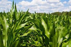 wieczorem pola kukurydzy tła hill Zdjęcie Royalty Free