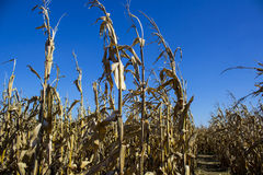 wieczorem pola kukurydzy tła hill Zdjęcia Stock
