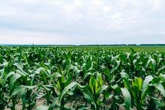 wieczorem pola kukurydzy tła hill susza Obraz Royalty Free