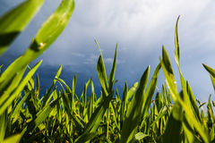 wieczorem pola kukurydzy tła hill Fotografia Royalty Free