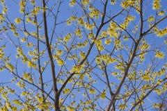 wiedźma orzechowa kwitnąca zdjęcie stock