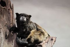 Wied's marmoset Stock Photography