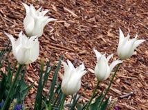 Wiedeń biały tulipan 2016 Zdjęcie Stock