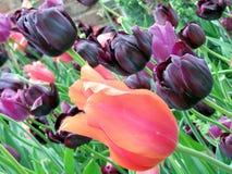 Wiedeń tulipan kwitnie 2016 Obrazy Stock