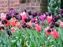 Wiedeń tulipan kwitnie 2016 Zdjęcia Stock