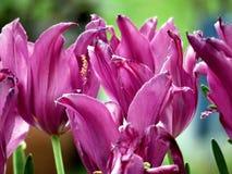 Wiedeń tulipanowy kwiat 2016 Obrazy Stock