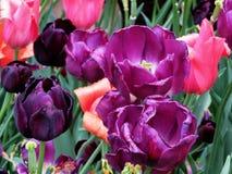 Wiedeń tulipany 2016 Obrazy Stock