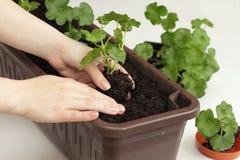 Wiedereinsetzung der Pelargoniesämlinge Lizenzfreies Stockfoto