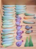 Wiedergabe von Succulents durch Blätter Lizenzfreie Stockfotos