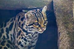 Wiedii de Leopardus del ocelote del árbol fotos de archivo