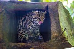 Wiedii de Leopardus del ocelote del árbol imagenes de archivo