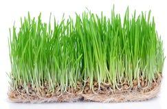 świeże trawa zieleni Obraz Royalty Free