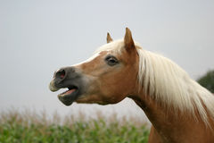 Wieherndes Pferd Lizenzfreie Stockfotografie