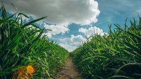 Wiejska ścieżka przez ziemi uprawnych upraw i pole z obłocznym timelapse w niebieskim niebie zbiory