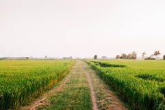 Wiejska droga gruntowa i tropikalny zielony ryżu pole w Koh Tepo, Uthai zdjęcie royalty free