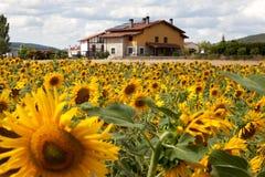 Wiejski dom i pole słoneczniki Zdjęcia Royalty Free