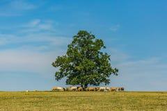 Wiejski krajobraz, stado brązu i białych krowy obraz stock