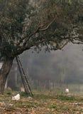 Wiejski krajobraz z chodzącymi kurczakami, oliwka ogródem i mgłą na Greckiej wyspie, zdjęcie stock