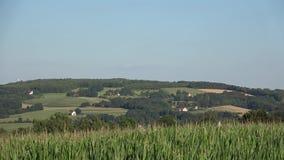 Wiejski krajobraz z kukurydzaną plantacją zbiory