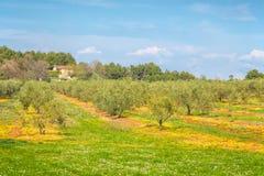 Wiejski krajobraz z oliwnym gajem podczas słonecznego dnia Obrazy Stock