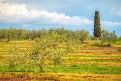 Wiejski krajobraz z oliwnym gajem podczas słonecznego dnia Zdjęcia Royalty Free