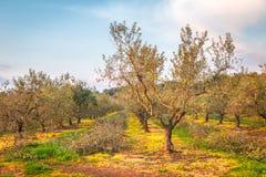Wiejski krajobraz z oliwnym gajem podczas słonecznego dnia Zdjęcie Royalty Free