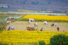 Wiejski krajobraz z zebu krowami ciągnie furę mężczyzna i Obrazy Stock