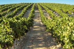 Wiejski krajobrazowy winnica Zdjęcie Stock