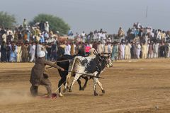 Wiejski Pakistan dreszcz i widowiskowość byk, ścigamy się Fotografia Stock