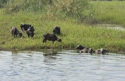 Wiejski pole rzeką z wodnego bizonu bydlęciem w Africa fotografia stock