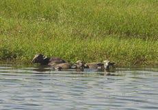 Wiejski pole rzeką z wodnego bizonu bydlęciem w Africa obrazy stock